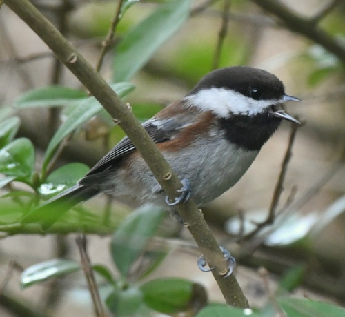 Chestnut-backed Chickadee_SnohomishCo-WA_LAH_4637