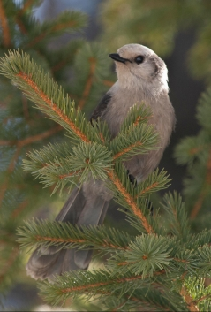 Gray Jay_StateForestSP-CO_LAH_6614