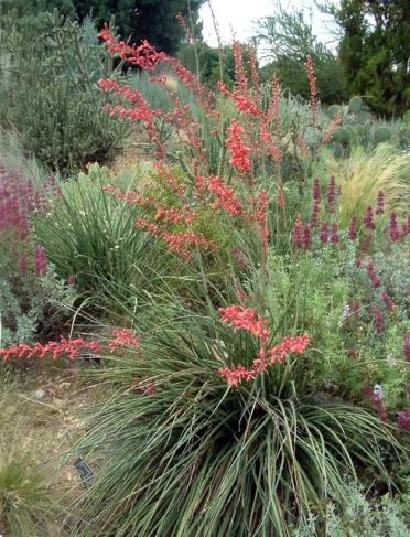 Hesperaloe parviflora - Red Yucca @DBG LAH 331r