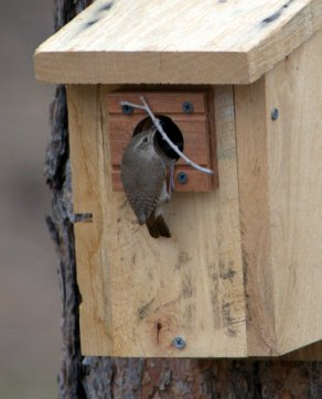 House Wren_BlkForest-CO_LAH_5668