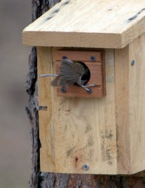 House Wren_BlkForest-CO_LAH_5690