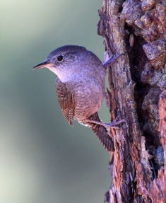House Wren_ManitouLake-CO_LAH_4169