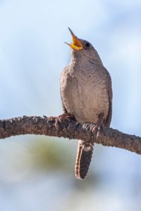 House Wren_ManitouLake-CO_LAH_4230r