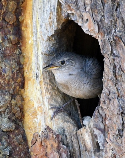 House Wren_ManitouLake-CO_LAH_4354