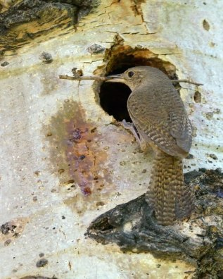 House Wren_RMNP-CO_LAH_9408