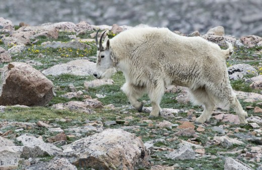 Mountain Goat_MtEvans-CO_LAH_5740