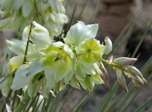 Yucca glauca_CorralBluffsCO_LAH_0327