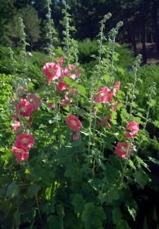 Alcea rosea - Hollyhocks @DianaPicchietti-Monument 22july05 LAH 002r