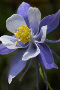 Aquilegia_Colorado Columbine_Emerald Valley-EPCo-CO_LAH_5416r