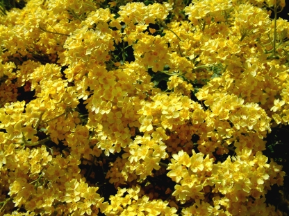Aurinia saxatilis - Basket of Gold @DBG LAH 013