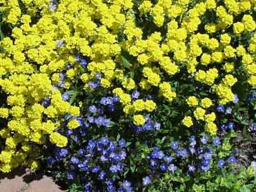 Aurinia saxatilis plant2