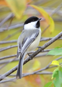 Black-capped Chickadee 5x7