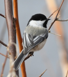 Black-capped Chickadee_FCNC-CO_LAH_2790