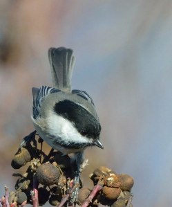 Black-capped Chickadee_Wenatchee-WA_LAH_3690