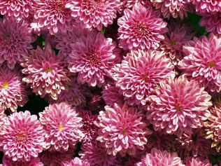 Chrysanthemum hyb bloom pink