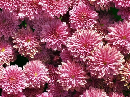 Chrysanthemum hyb bloom pink