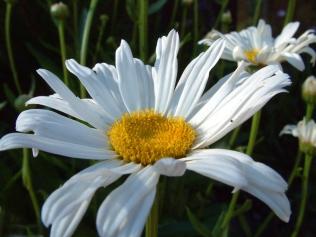 Chrysanthemum maximum - Shasta Daisy @home LAH 008