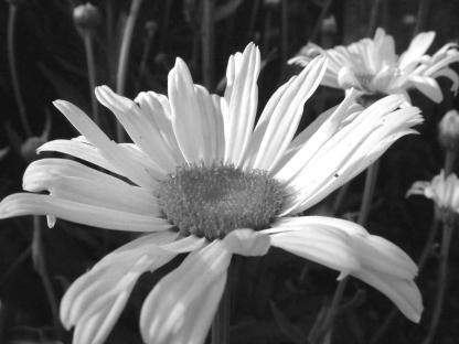 Chrysanthemum maximum - Shasta Daisy @home LAH 008g