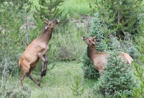 Elk_RMNP-CO_LAH_7146