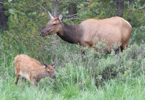 Elk_RMNP-CO_LAH_7162
