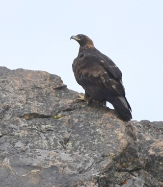 Golden Eagle_RMNP-CO_LAH_7410