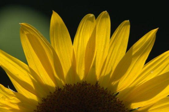 Helianthus annuus_Sunflower_DBG_LAH_6805