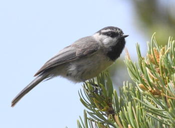 Mountain Chickadee_AikenCyn-CO_LAH_3192