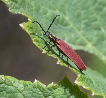 Net-winged Beetle_Emerald Valley-EPCo-CO_LAH_5504