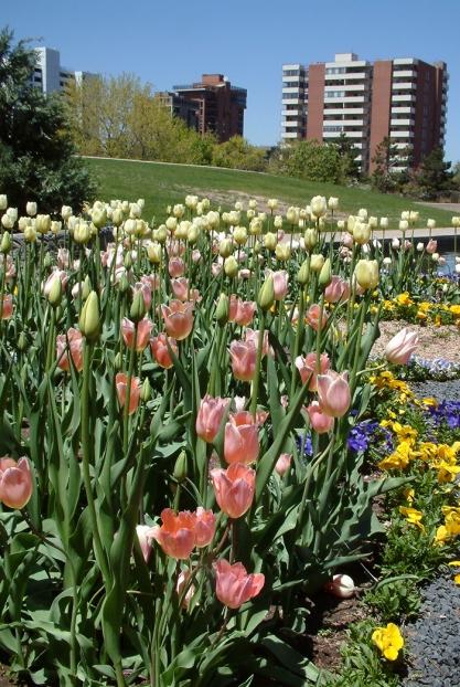 Tulipa @DBG LAH 6