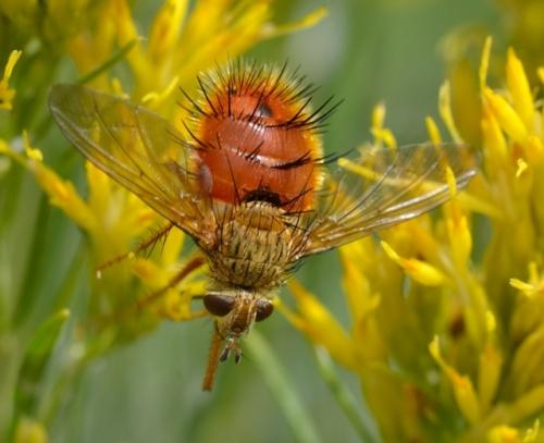Adejeania vexatrix_Spiny Tachinid Fly_WestonPass-CO_LAH_1885-001