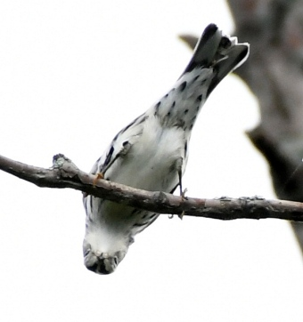 Black-and-white Warbler_MageeMarsh-OH_LAH_3850