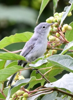 Blue-gray Gnatcatcher_MageeMarsh-OH_LAH_3690