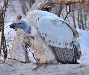 Cape Griffon Vulture_CheyenneMtnZoo-CO_LAH_4562