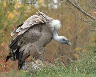 Eurasian Griffon Vulture_CheyenneMtnZoo-CO_LAH_5320