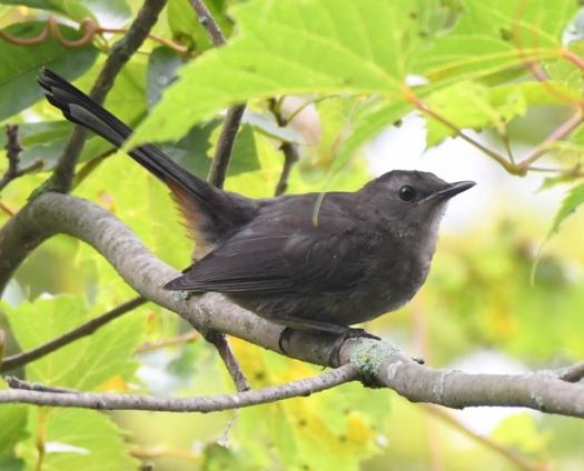 Gray Catbird_MageeMarsh-OH_LAH_3694