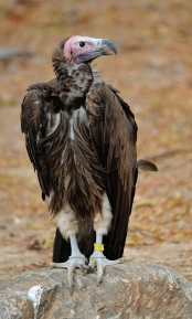 Lappet-faced Vulture_DenverZoo_LAH_2884
