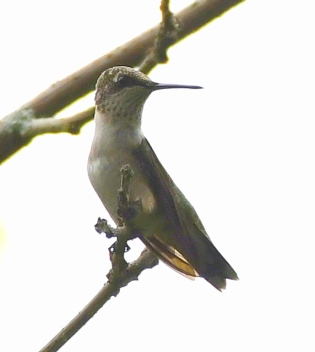 Ruby-throated Hummingbird_MageeMarsh-OH_LAH_3703