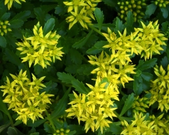 Sedum_YampaRiverBotanicPark-SteamboatSprings-CO_LAH_6301