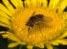 Tachinid fly_RamahSWA-CO_LAH_1934f