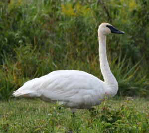 Tundra Swan_OttawaNWR-OH_LAH_3654