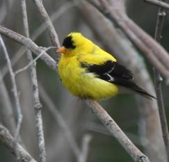 American Goldfinch_ShiawasseeNWR-MI_LAH_4260