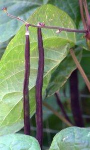 Beans_Tyndale garden-ColoSpgs-CO_LAH_2860