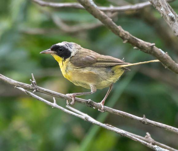 Common Yellowthroat_ShiawasseeNWR-MI_LAH_4737f