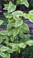 Cornus sericea 'Hedgerows Gold'_Red Osier Dogwood_DBG-CO_LAH_8627