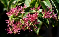 Heptacodium miconioides_Seven-Son Flower_DBG-CO_LAH_8615