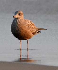Herring Gull_Muskegon-MI_LAH_4840