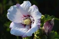 Hibiscus 'Minspot' Fiji_DBG-CO_LAH_8650