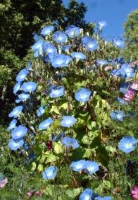 Ipomoea violacea - Morning Glory 'Heavenly Blue' @DBG 19sept05 LAH 489