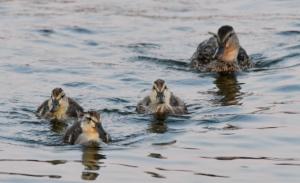 Mallard & ducklings_Muskegon-MI_LAH_4858