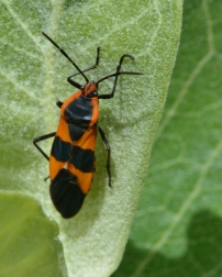 Milkweed Bug_LastChance-CO_LAH_1965-001
